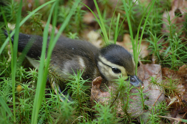 Duckling digital photo in Pike County Pennsylvania near the Upper Delaware River. Stock image from photography archive.