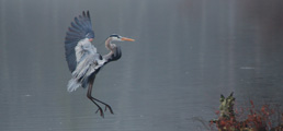 Great blue heron landing on a swampy lake in Pike County PA in NEPA along the Upper Delaware River depicting cause marketing, targeted campaigns and conservation, environmental messaging.
