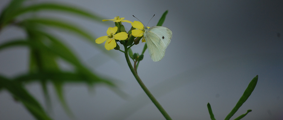 Cabbage looper moth on yellow spring flower photo.
