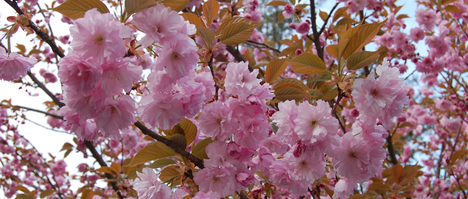 Digital photograph of pink cherry blossoms or crab apple blossoms.