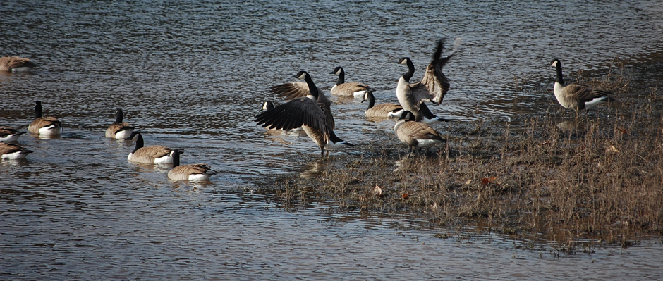 Photo of Canada geese flocking on the Delaware River near Narrowsburg, New York.