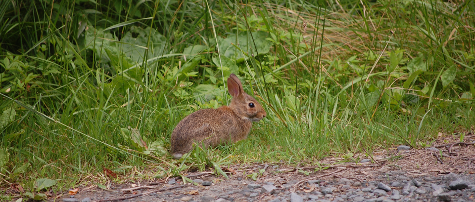 The Eastern Cottontail Rabbit is abundant throughout the Upper Delaware region. See more animal photos at SandyLongPhotos.com