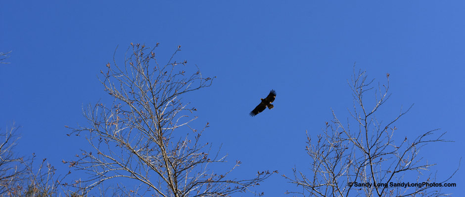Photo by Sandy Long of an eagle flying above the treeline.