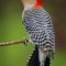 Photograph of a woodpecker by David Soete, a featured photpgrapher at the 2016 Upper Delaware BioBlitz.