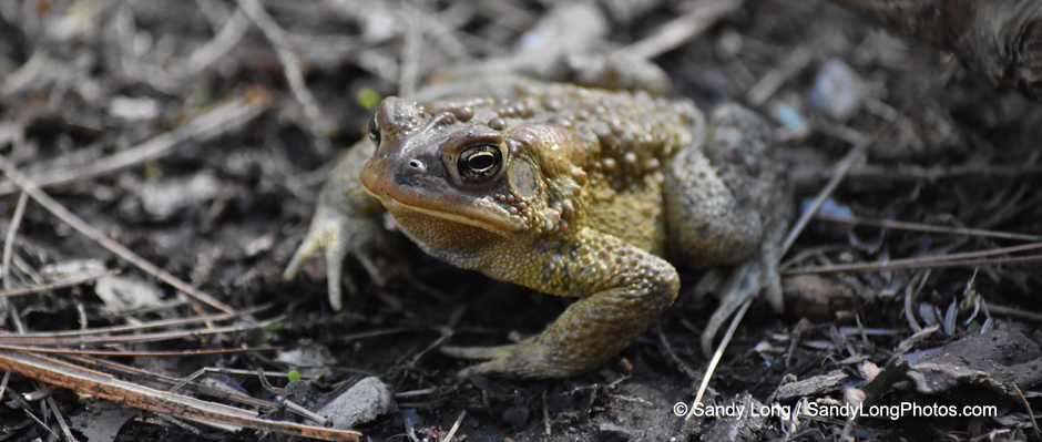 Photograph of an American Toad by Sandy Long.