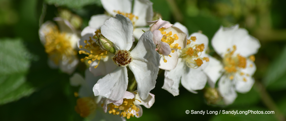 Photograph by Sandy Long of the invasive species Multiflora Rose.