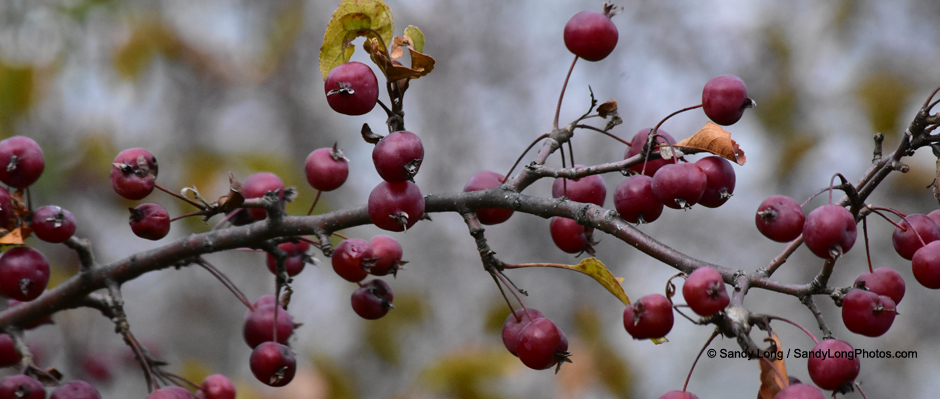A photograph by Sandy Long of berries in fall.