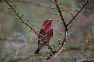 A photograph of a purple finch by Sandy Long, which will appear in her Portal of Place digital exhibit at DENiZEN in Barryville, NY.