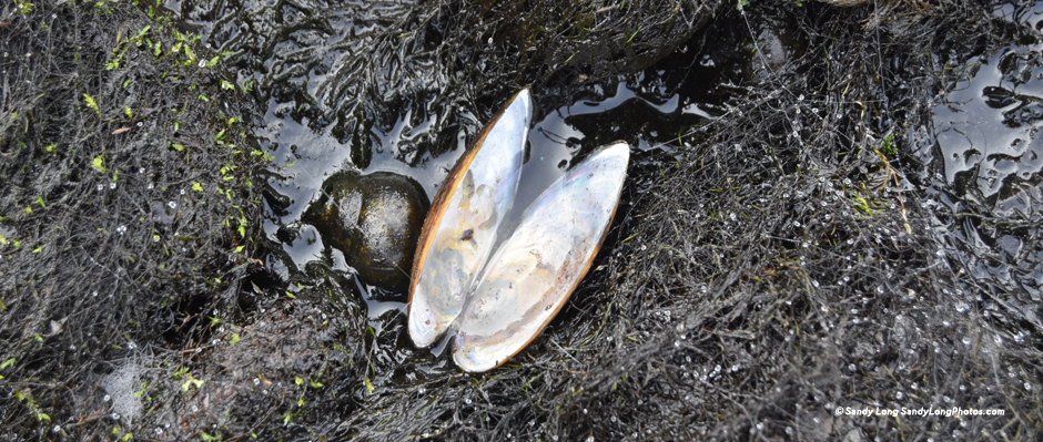 Freshwater mussel photo by Sandy Long.