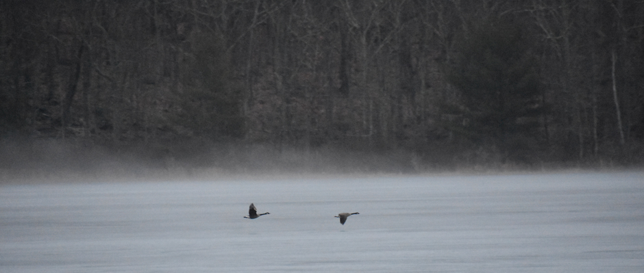 Canada Geese flying over a lake in winter. Photo by Sandy Long.