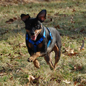 Our mini pinscher Beetle running on hunting and fishing club property in Pike County PA.