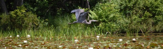 Heron Cam… Live on the Nest!