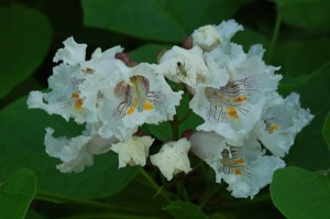 Digital photo of catalpa trees in full bloom during a Global Earth Exchange in Centralia, PA.