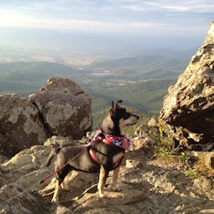 This photo of our dog Ziva Bolinski was taken at Shenandoah National Park at Little Stony Man Peak.