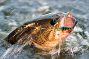 A photograph by Roy Morsch of a large mouth bass. Roy is a featured photpgrapher at the 2016 Upper Delaware BioBlitz.