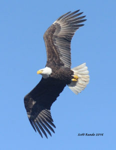 A photograph of a bald eagle by Scott Rando, a featured photpgrapher at the 2016 Upper Delaware BioBlitz.