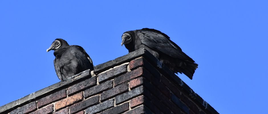 Photo of black vultures in Narrowsburg, NY Sullivan County by Sandy Long.