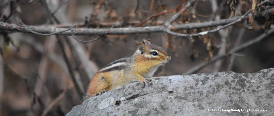chipmunk by Sandy Long.