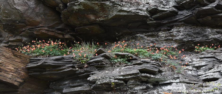 A photo by Sandy Long of Wild Columbine growing on cliifside rocks along the Lackawaxen River in Pike County, PA near the Upper Delaware River.