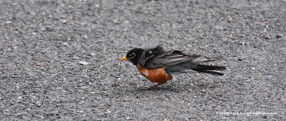 Photo by Sandy Long of a windblown robin.