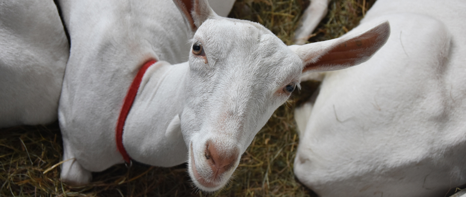 A photo of a white goat at the Harford Fair by Sandy Long.
