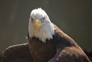 Photo of a bald eagle on the Upper Delaware River by Sandy Long.